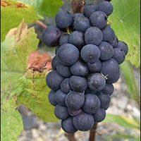 A Pinot Noir egy új gyógyszer?