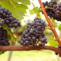 ISMÉTLÉS: Hogyan készül a vörösbor?
