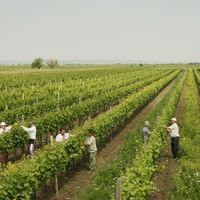 Bio - biodinamikus - szőlőtermesztés