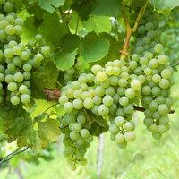 ISMÉTLÉS: Hogyan készül a fehérbor?