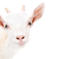 A bőr természetes gyógymódja: a kecsketej