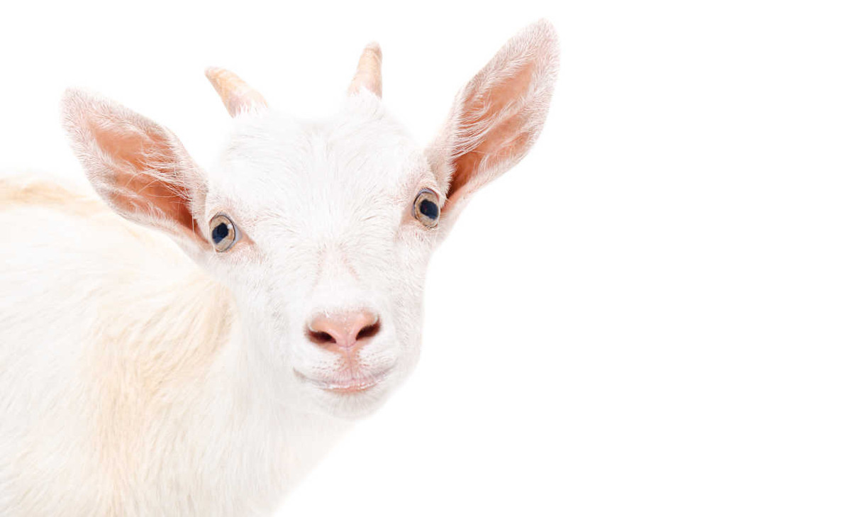 white-goat.jpg
