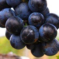 Kékfrankosok Csiténél