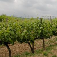 Nyomot hagyni – Gallay Kézműves Pince Bükk Blanc 2012
