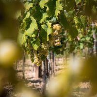 Dél-szlovákiai borászok adnak tanácsot, hogyan ismerjük fel a jó bort