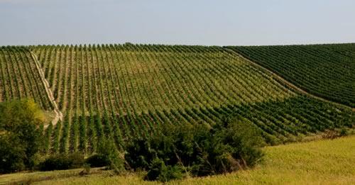 vinograd-belo-brdo.jpg