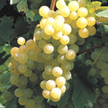 Bujdosó Balatonboglári Sauvignon Blanc 2006