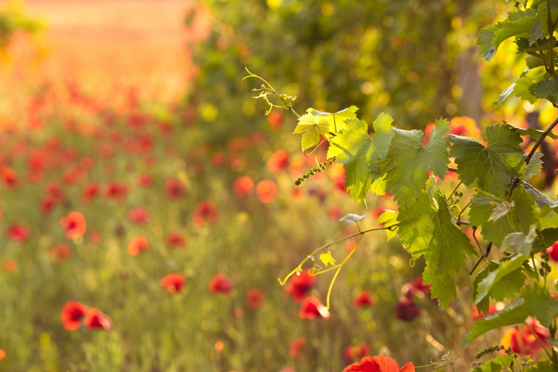 mtu_foto_bright-red-poppies-vineyard.jpg