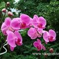 Orchidea (lepkeorchidea)
