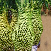 Szerencsebambusz, avagy egy jól eladható növény.