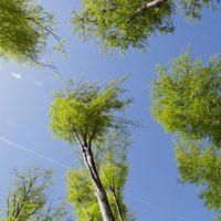 Csak úgy - égigérő fák a Pilisben