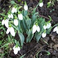 Idei első hóvirágbokor (2011.01.22.)