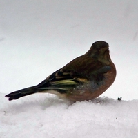 Új madarak a hideg miatt  -  Erdei pinty, fenyőpinty, zöldike