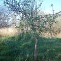Gyümölcsfák vadon - almafák, mogyoró, bodzás kocsi