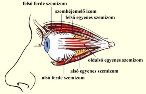 szem és látás a nőknél