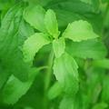 Parlagfű allergiások óvatosan fogyasszanak steviát!