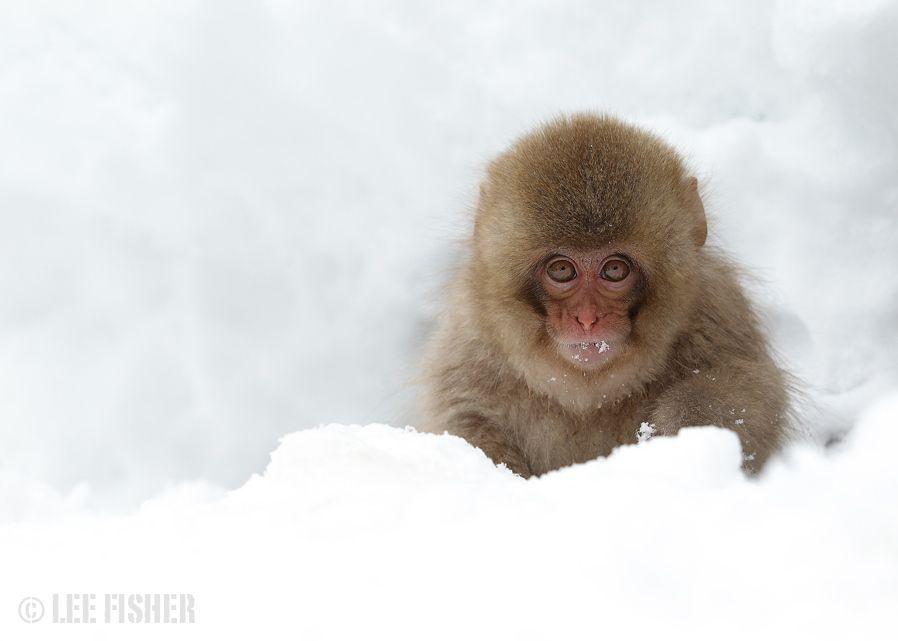 9_photograph_baby_snow_macaque_by_lee_fisher.jpg