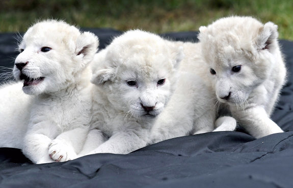 most-expensive-pets-in-the-world-white-lion-cubs.jpg