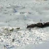 Farkasfalka vadászik bölényre