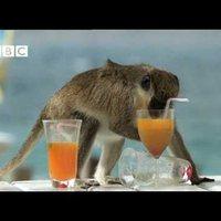 Napozol a parton, a majmok meg elviszik a koktélod