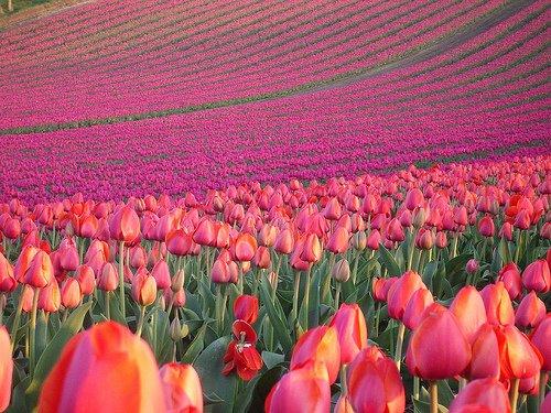 tulipanmezo2.jpg
