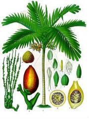 220px-Areca_catechu_-_Köhler–s_Medizinal-Pflanzen-014.jpg