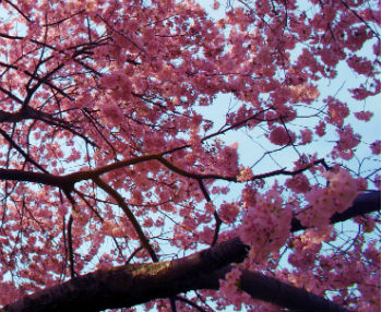 cherry-blossom-tree-photos-366210703.jpg