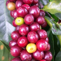 A kávétermesztés fenntarthatóságát célozza a most induló Sustainable Coffee Challenge