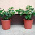 Két szép Cumari növény