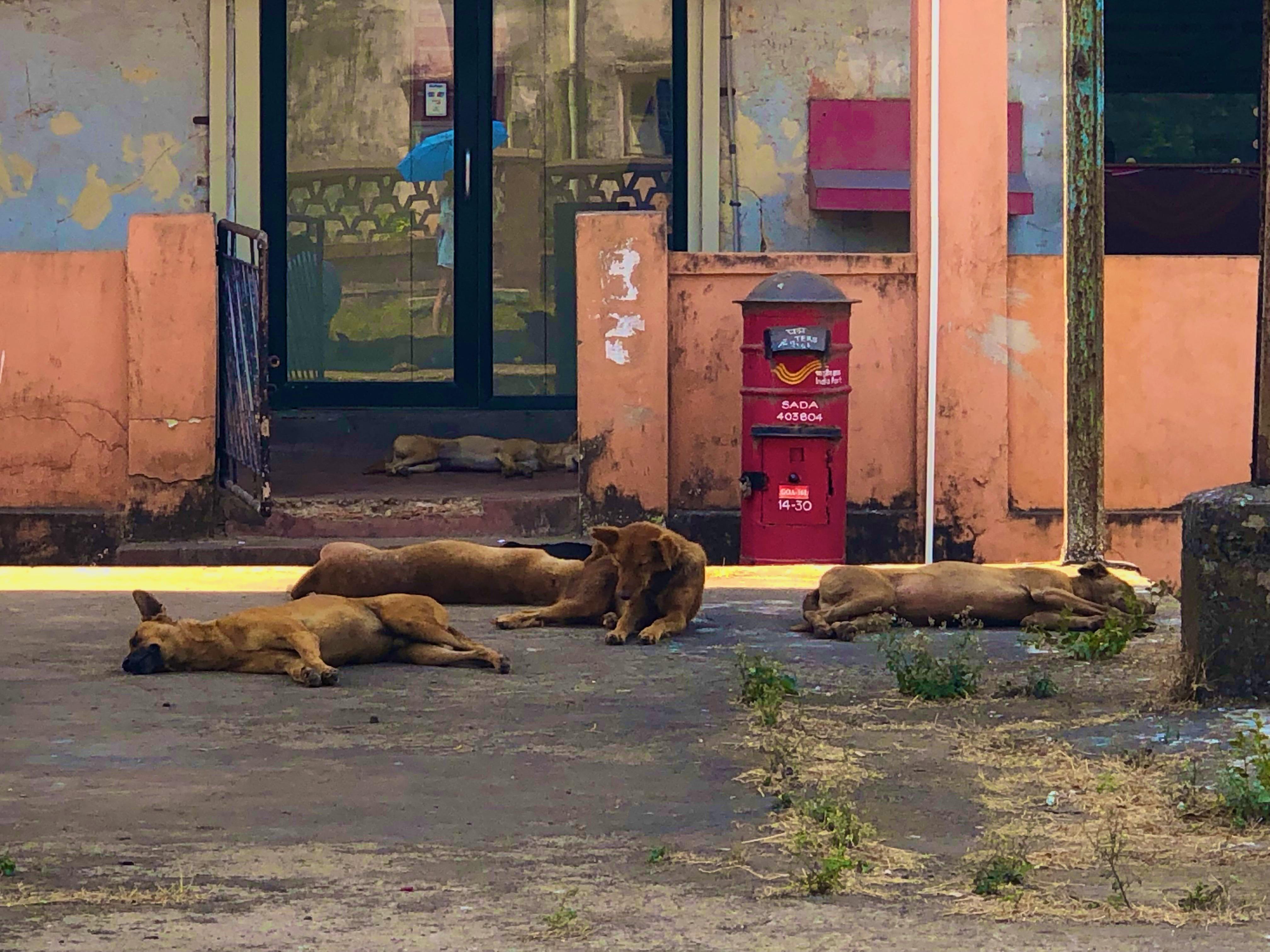 Kutyák mindenütt kószálnak vagy inkább pihennek Indiában