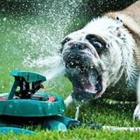 Kutyák és a kerti locsoló