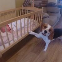 A bébiszitter beagle