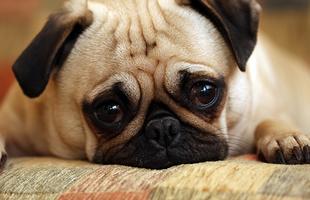 Kutyák körében is terjed a kék acél nézés