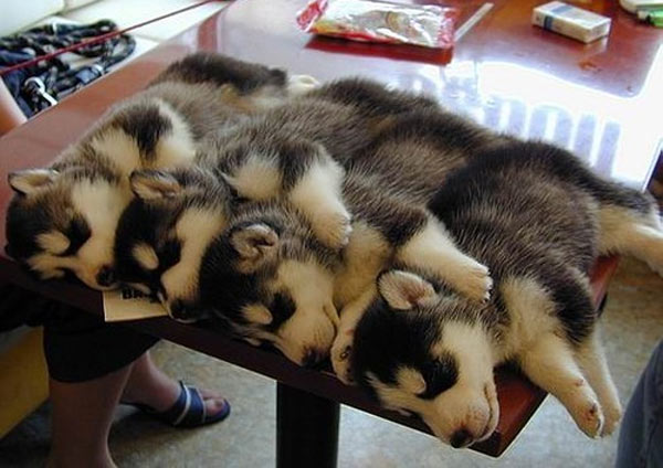 1316170113_Husky-puppies-sleeping-on-a-table.jpg
