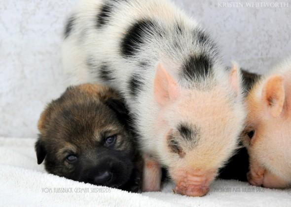 3.13.14-Puppies-Piglets6-590x421.jpg