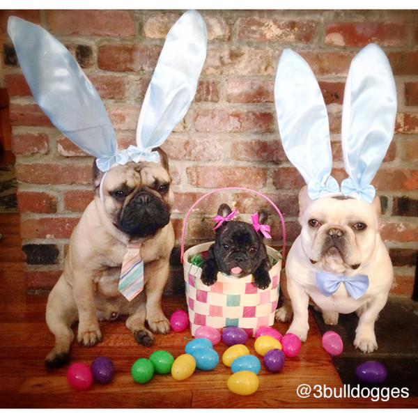 3bulldogges-600x600.jpg