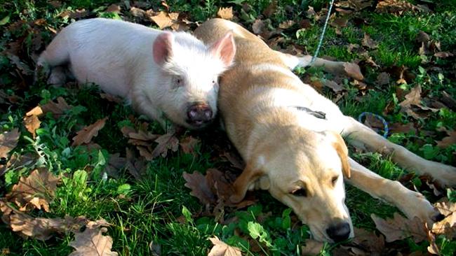 928450-police-find-pig-and-dog.jpg