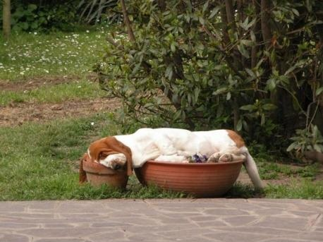 Basset-Hound-sleeping-in-flower-pots.-Part-dog-part-gravy..jpg