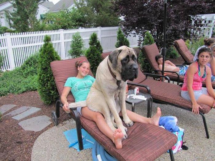 Funny-big-dogs-pics16.jpg