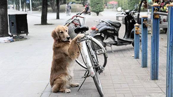 amazing-video-dog-guards-owners-bicycle-with-L-0yCtW5.jpeg
