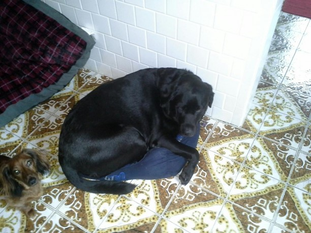 black-lab-and-dachshund-612x459.jpg
