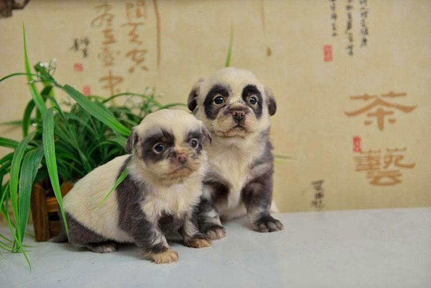 cute-dog-panda-puppies-1.jpg