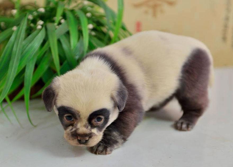 cute-dog-panda-puppies-2.jpg