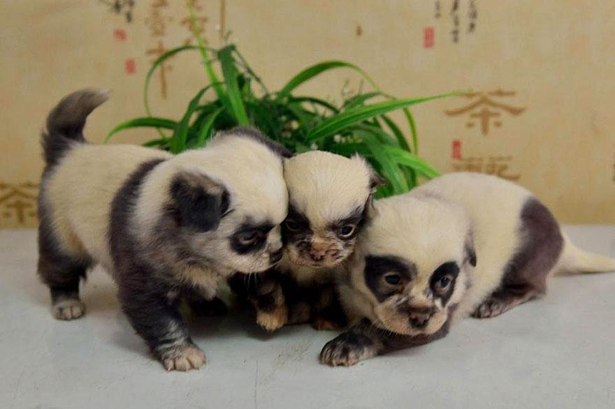 cute-dog-panda-puppies-3.jpg