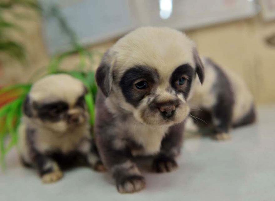 cute-dog-panda-puppies-5.jpg