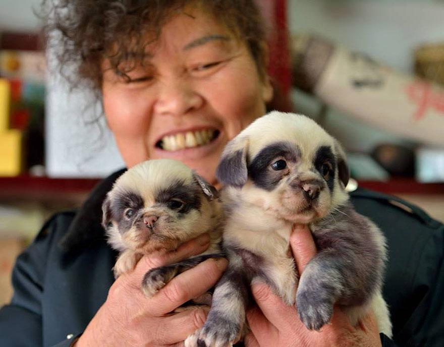 cute-dog-panda-puppies-6.jpg