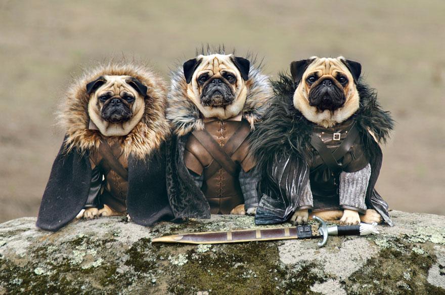 cute-pugs-game-of-thrones-pugs-of-westeros-1.jpg