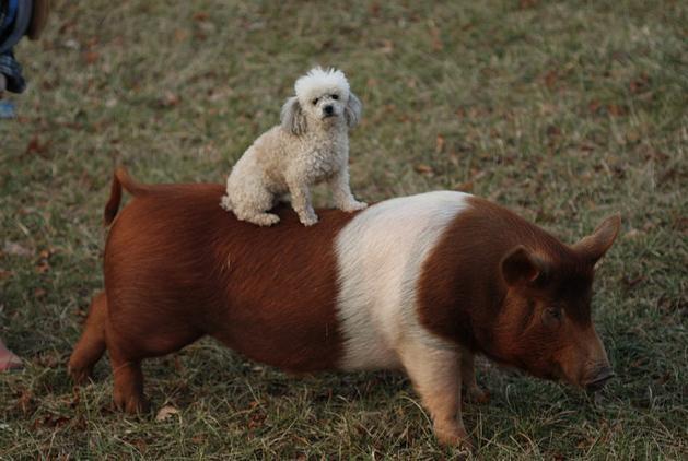 dog-and-pig.jpg