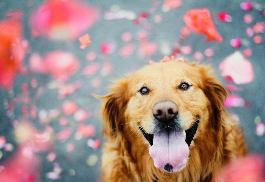 dog-photography-chuppy-golden-retriever-jessica-trinh-21.jpg