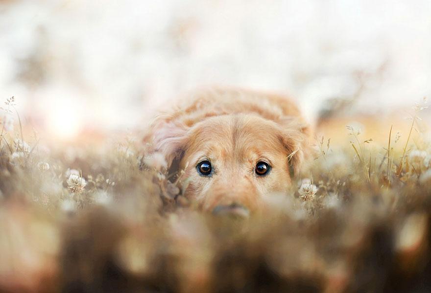 dog-photography-chuppy-golden-retriever-jessica-trinh-6.jpg